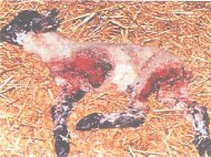 Lamb killed by fox